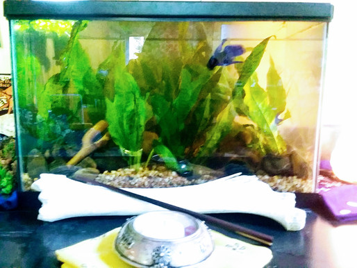 Care of the 'Soul': Raising a Betta as Spiritual Practice