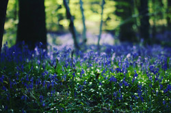 HALLERBOS, THE BLUE FOREST