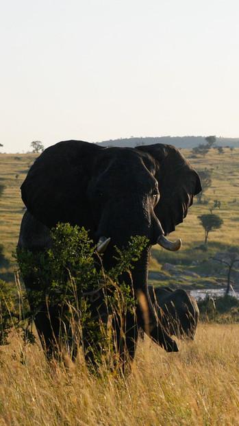 Eléphant de savane