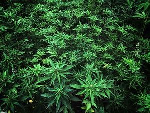 Marijuana DUI CBD OUI THC