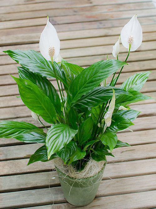 Blühpflanze Ella