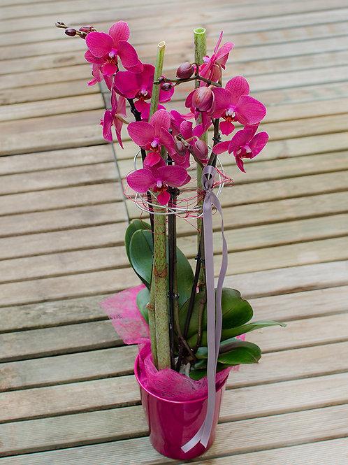 Orchidee Lena