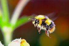 bumble-bee-2361336_640.jpg
