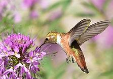 800px-Rufous_hummingbird_at_Seedskadee_N