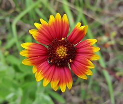blanket-flower-1366732_1280.jpg