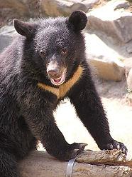 440px-Formosan_Black_Bear.jpeg