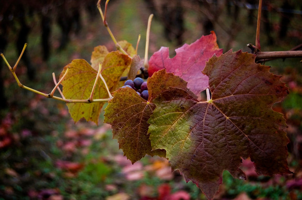 Raisin-et-feuilles-2.jpg
