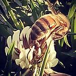 honey bee 2.JPG