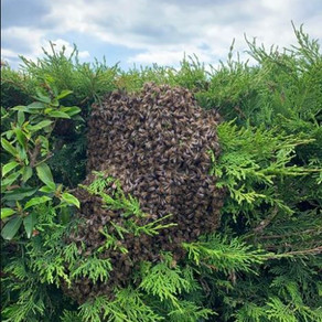 Honey Bee Swarm we collected from a conifer hedge