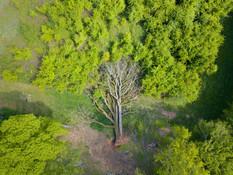 Beaufort Drone photo nature flore chêne séculaire déraciné