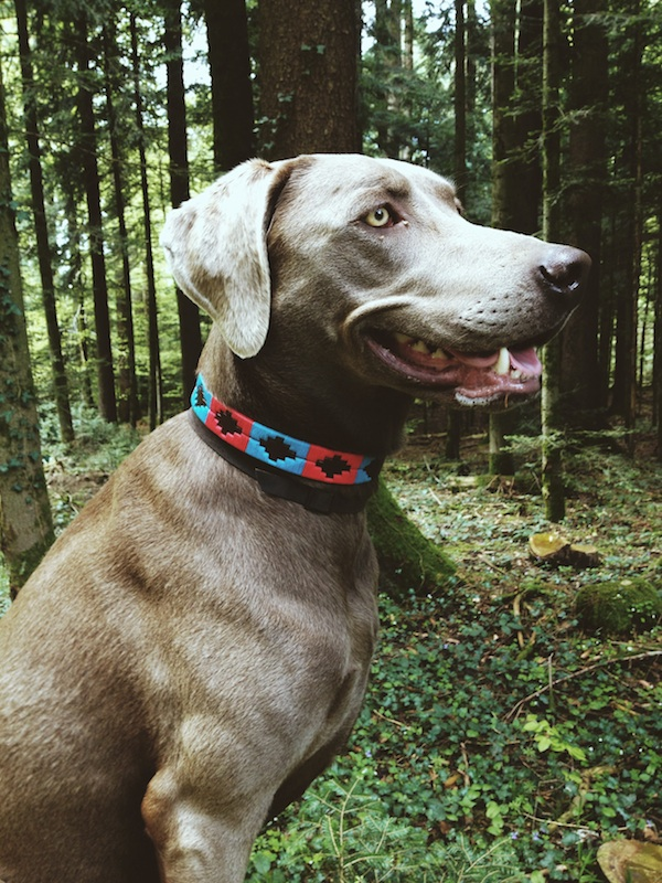 Dog collar leather argentina Kamyno