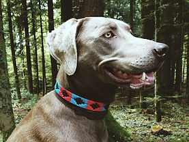 Polo dog leather collar from Argentina, manually embroidered, Blue Red