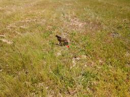 Beaufort Drone photo vidéo animalière lièvre en plaine dans l'Indre