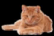 Grote rode kater Stichting Amsterdamse Zwerfkatten