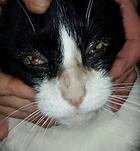 Zieke zwerfkat met oogontsteking