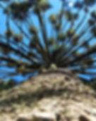 Campos-do-Jordao-Meio-Ambiente-Araucaria