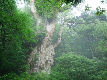 朝靄と縄文杉