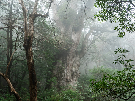 12月の縄文杉