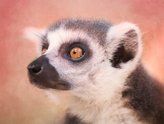 Lemur (one)
