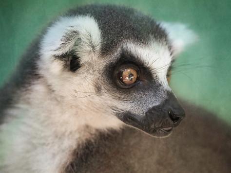 Lemur (two)