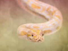 Python (two)