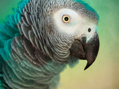 African Grey (one)