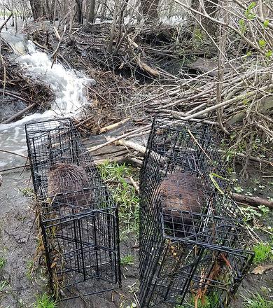 beaver relocation.jpg