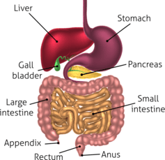 The gastrointestinal tract.  Christos Georghiou/Shutterstock