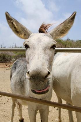 Aruba Animals - 1.jpeg