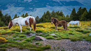 Andalusiens vilde heste