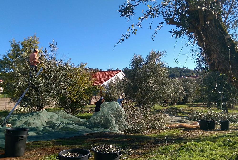 SR Olives 1 b