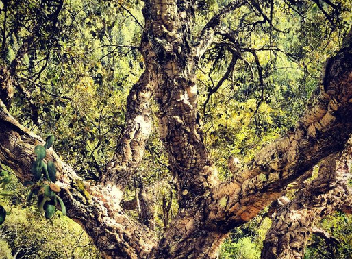 The Cork Oak Connection