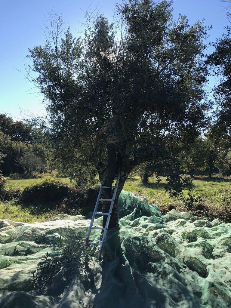 SR Olive tree