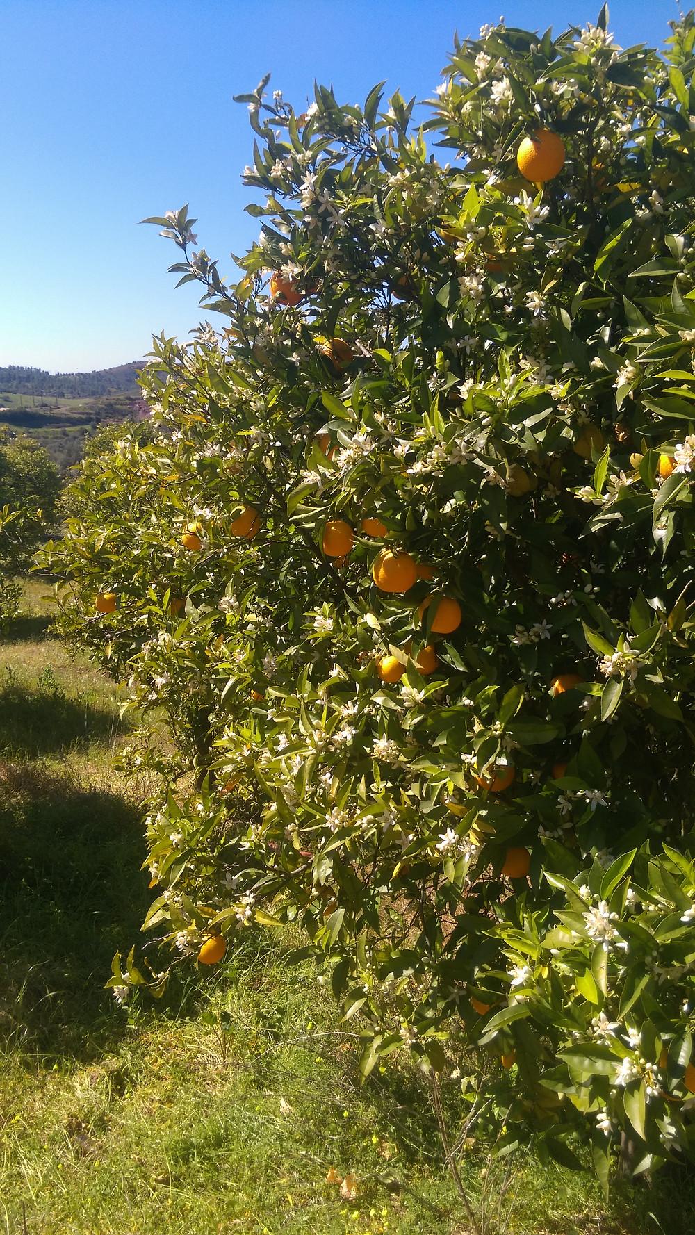 Orange Blossom 4 SRadford