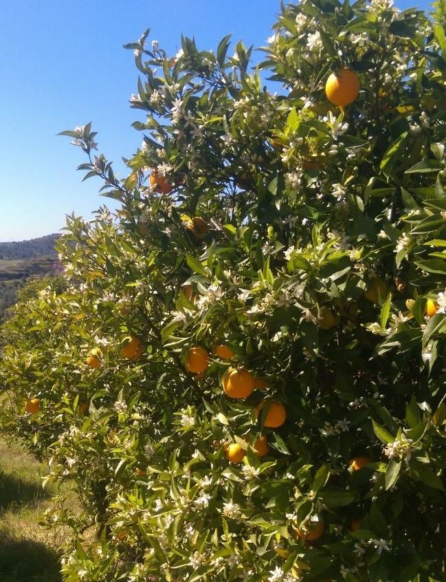 orange-trees-e1555070651626.jpg