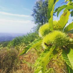 Chestnuts on tree