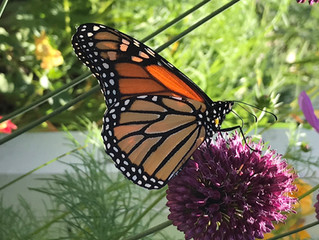 Monarch Story Hour and Butterfly Release at Head of Tide Preserve