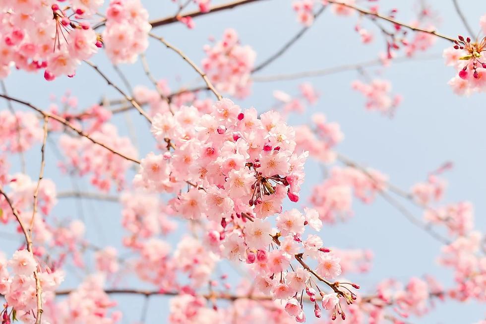 cherry-blossom-tree-1225186_1280.webp