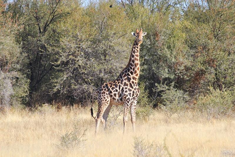Giraffenbulle-jagdfarm-namibia-kashjuna-