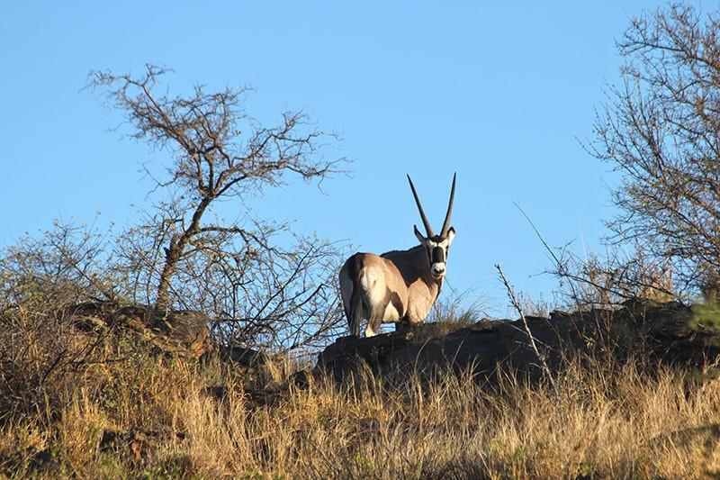 Oryx--jagdfarm-namibia-kashjuna-hunting-