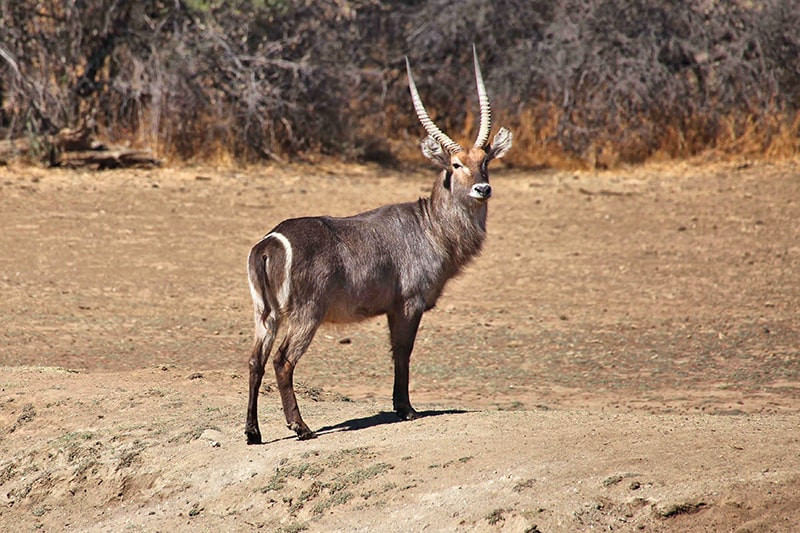 wasserbock-2-jagdfarm-namibia-kashjuna-h