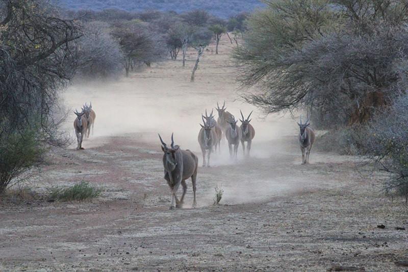 Elands-Herde-jagdfarm-namibia-kashjuna-h