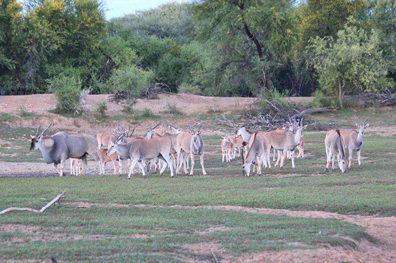 Elandherde--jagdfarm-namibia-kashjuna-hu