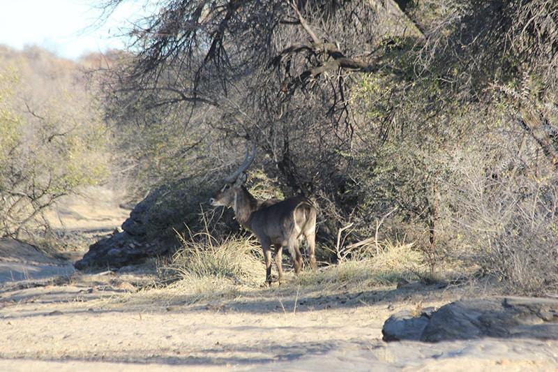wasserbock-jagdfarm-namibia-kashjuna-hun