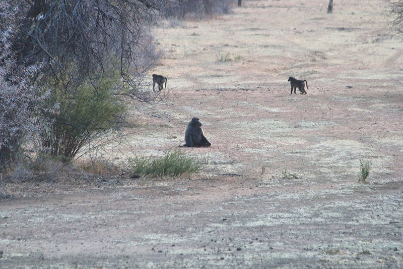pavian-jagdfarm-namibia-kashjuna-hunting