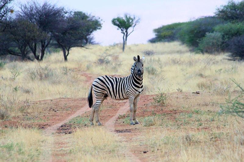 steppenzebra-jagdfarm-namibia-kashjuna-h