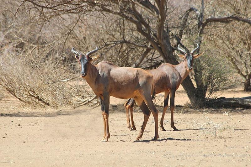 Tsessebe-jagdfarm-namibia-kashjuna-hunti