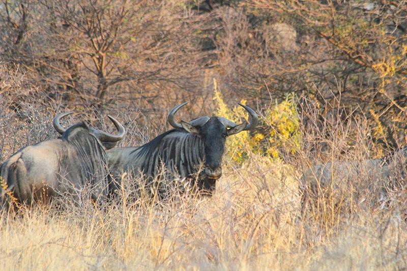 Streifengnu-Bulle-gross-jagdfarm-namibia