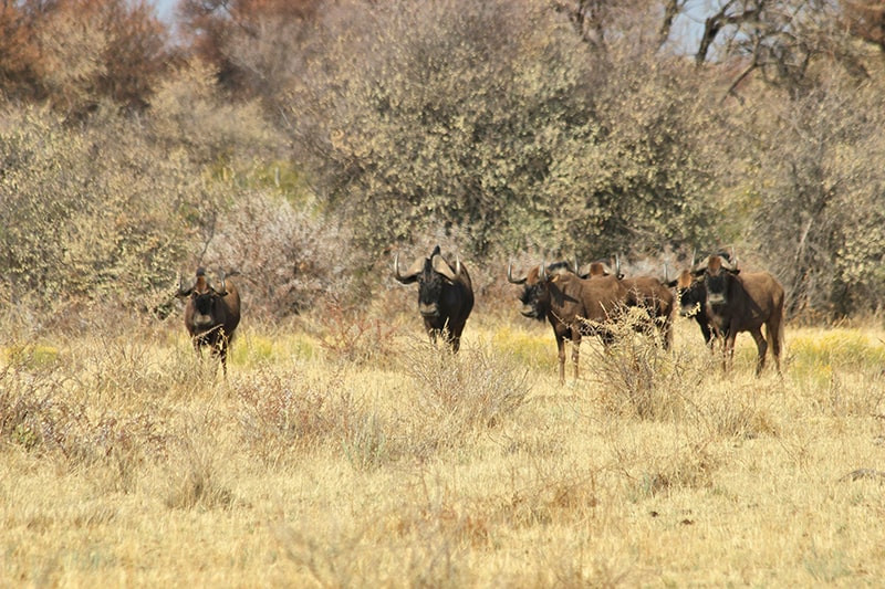 Gnu-jagdfarm-namibia-kashjuna-hunting-lo