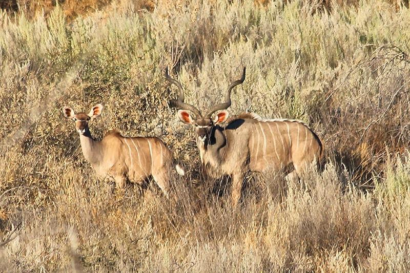 Kudu-Herde--jagdfarm-namibia-kashjuna-hu